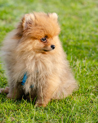 Cute fluffy pomeranian puppy sitting on green grass