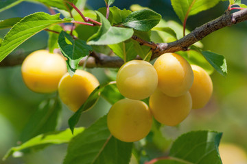 Fruits of plum tree on the tree.