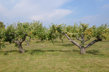 Apple tree plantation, Skane - Sweden