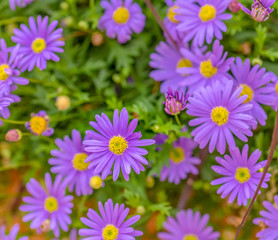 Fine art color outdoor floral close up image of a bunch/bouquet of flowering pink yellow erigeron / daisy blossoms with green leaves on a sunny summer day
