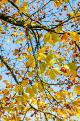 Autumn leaves background with blue sky behind.