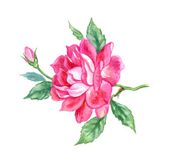Bright pink rose with a bud, watercolor drawing on a white background, isolated with clipping path.