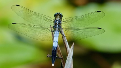 Libelle, Nahaufnahme