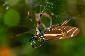Golden silk orb-weaver spider (Nephila clavipes) eating zebra longwing butterfly (Heliconius charitonia) - Davie, Florida, USA