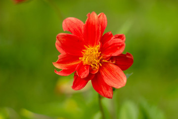 Single beauty natural red flower of dahlia