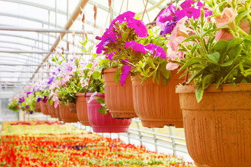 flowering fuchsia in pots, watering in a greenhouse, production and cultivation of flowers.