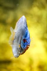 Diskusfisch, Diskusfische, Aquaristik