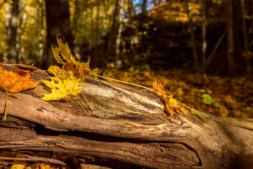 Maple leaves lying on a log in the woods