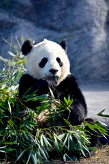 Aluminium Prints Panda Giant Panda Bear Eating Bamboo Leaves