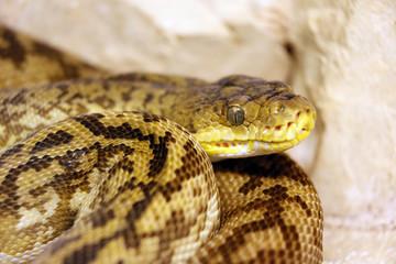 Reptile. Snake. Close-up on a python of Timor (Python timorensis).