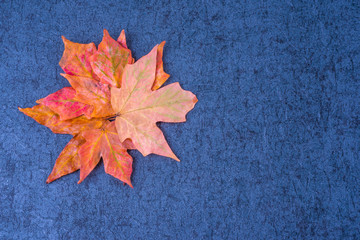 Red Orange Maples leaves in flower form on dark blue grunge background.  Free copyspace place in right side.