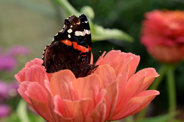 Red Admiral butterfly on an orange gerbera