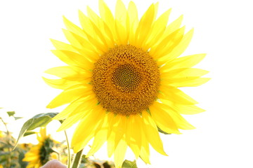 sunflower, flower, yellow, nature, summer, plant, field, sun, isolated, agriculture, green, leaf, bright, white, sunflowers, beauty, beautiful, blossom, petal, flowers, sky, spring, color, blue, objec