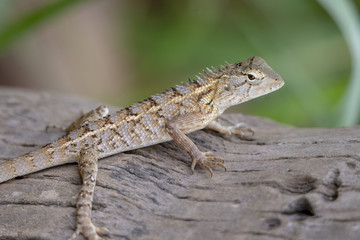 Black-lipped Lizard of Sri Lanka