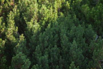 fir forest from above
