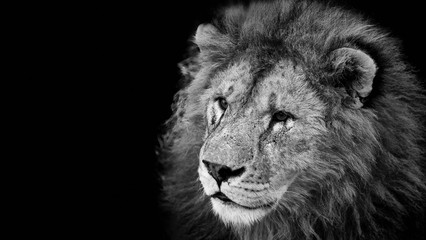 Portrait of a beautiful lion on a black background