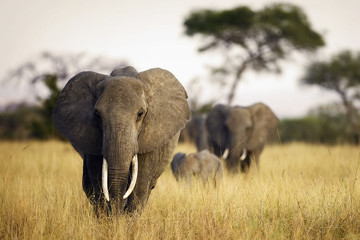 Herd of elephants walking through tall grass