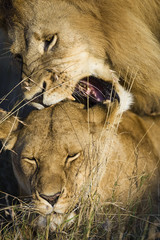 Male lion over lioness with aggressive open mouth and sharp teeth