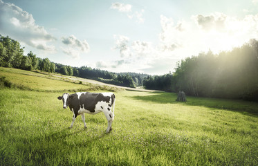 Poster Cow Cattle farming - cow ecological pasture on a meadow