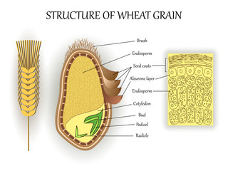 Structure of wheat seed grain, vector infographics layers of endosperm, bud, fetus, pedicel, hull anatomical poster formation. Biology and botany science banner, illustration.