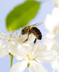 Bee on a flower of a white cherry