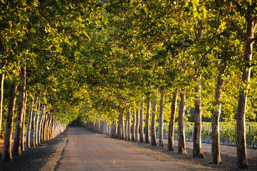 A treelined backroad leads through the Napa Valley wine country.