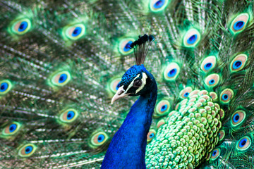 Meet the Peacock