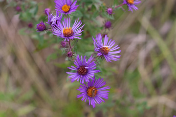 Purple Flowers at the Roadside