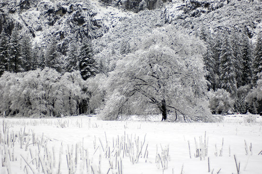 Oak and pine trees are laden with snow in the open valley of a Yosemite National Park, CA.