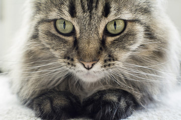 beautiful black and white maine coon cat