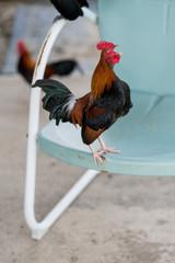 Free range bantam chickens