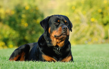 Rottweiler dog outdoor portrait lying down in green grass