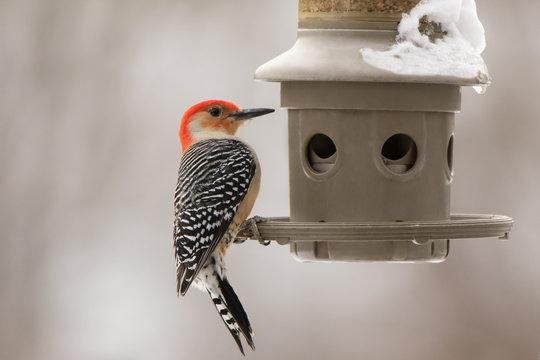 Red-Bellied Woodpecker by a Feeder