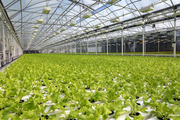 Lettuce growing in a greenhouse.