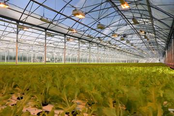 Lettuce growing in a greenhouse.