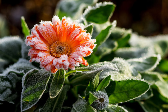 A bright flower is calendula, covered with frost. The first frosts in the garden_
