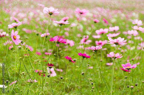 Pink and white cosmo flower garden stock photo and royalty free pink and white cosmo flower garden mightylinksfo