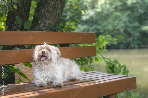 Pleasant Small Furry Bichon Dog Sitting On A Bench Stock Photo And Frankydiablos Diy Chair Ideas Frankydiabloscom