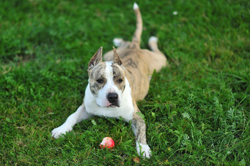 American Staffordshire Terrier on the grass