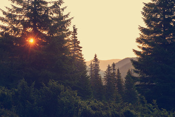 Orange rays of rising sun illuminate huge pine trees