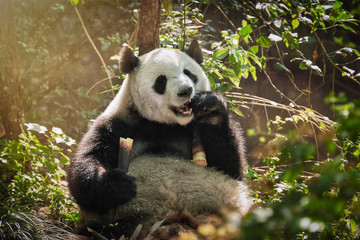 Autocollant pour porte Panda Giant panda bear in China