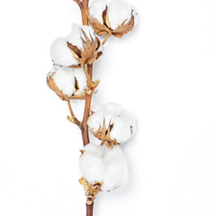 Cotton branch on white background Flat lay Top view. Delicate white cotton flowers. Light color cotton background.