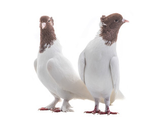 two white doves isolated