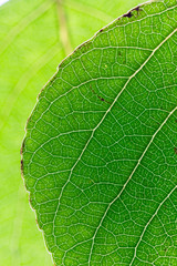 Close up view of half of a green leaf and veins isolated on green