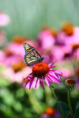 Monarch Butterfly on Echinacea Flower