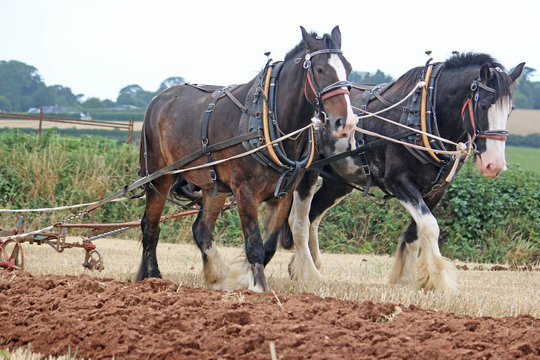 Shire horses ploughing