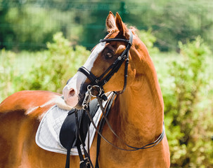 Beautiful horse portrait during dressage competition. Equestrian sport background.
