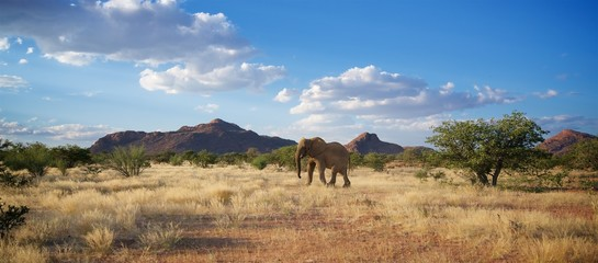 Photo sur Plexiglas Elephant Namibia wild desert elephant from front