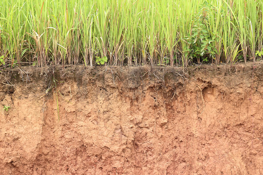 Cross section of grass and soil profile.