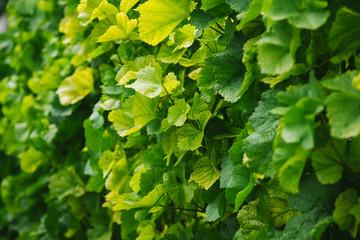 full frame image of vineyard leaves background